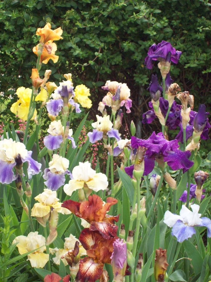 Iris Garden...Mom always had a patch of these in the garden beside the house.  Soooo pretty, but only for a short time.....