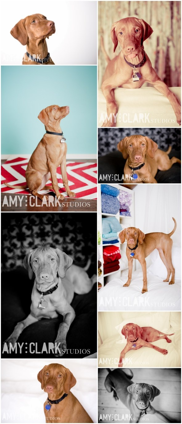 Puppy portrait. #dogs #photography {Amy Clark Studios amyclarkstudios.com}