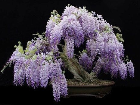 Heirloom 15 Wisteria Seeds Bonsai Tree Seeds Wisteria sinensis Chinese Wisteria Vine Violet Blue Flowers T017, $1.79