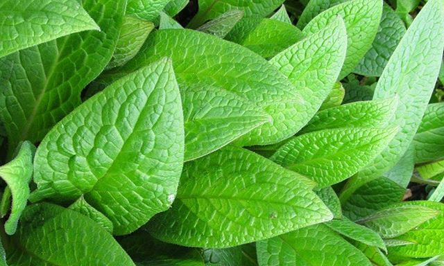 Comfrey - A fantastic herb for external skin treatment, as it works effectively aiding tissue repair and improving skin condition. Another popular herb that could be growing in your garden! Virtuous Skincare Skin Repair Cream.