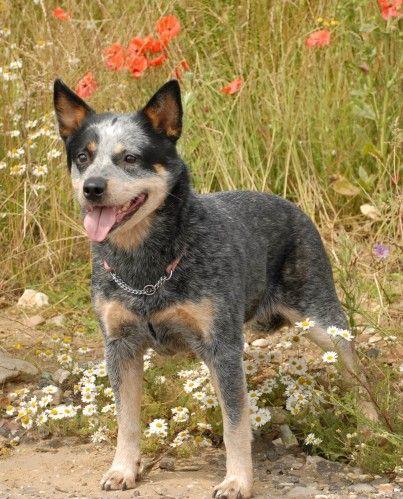 Australian Cattle Dog | Top Australian Cattle Dog in UK