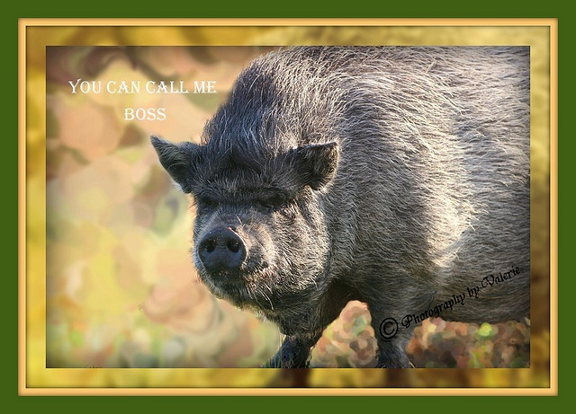 """Pot belly pig that came """"strolling"""" by today. This picture makes it appear to be a big pig, but it really wasn't He looked so mean in this picture I called him Boss. I'm sure it is somebody's pet.     Ladies get rid of your fat tummy for good. Live a Healthy way without the extra fat."""