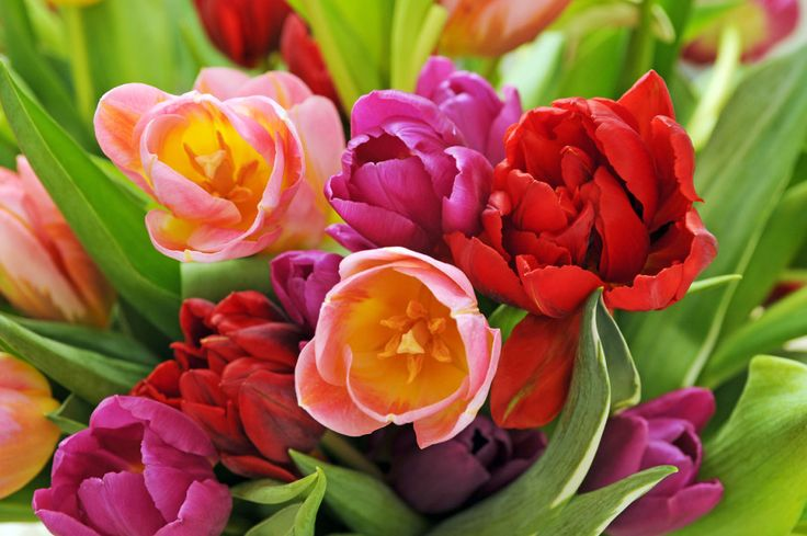 8 tips för att lyckas med tulpaner