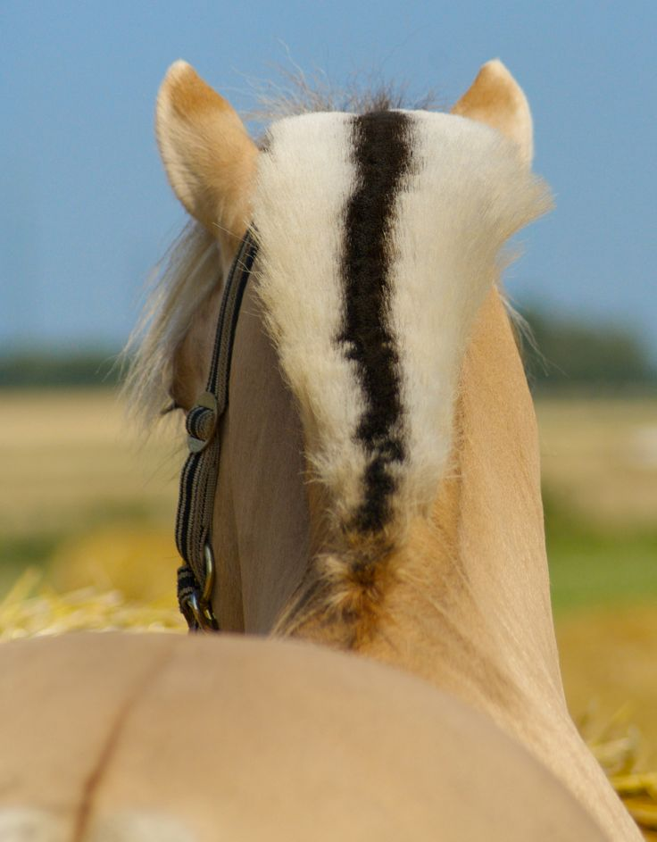 Photographer Pernille Westh | Norwegian Fjord Horse · Get my 7 FREE basic photography tips - you need to know! http://pw5383.wixsite.com/free-photo-tips