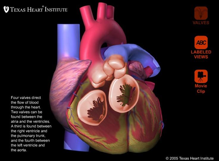 45 Best Heart Anatomy Images On Pinterest Heart Anatomy