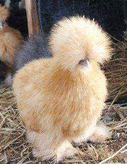 i want some chinese silkies. They would make me laugh every day:]