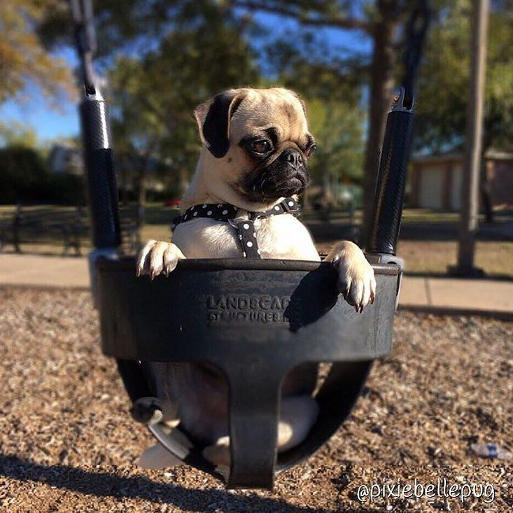 Just hangin' about! Photo by @pixiebellepug  Want to be featured on our Instagram? Tag your photos with #thepugdiary for your chance to be featured.