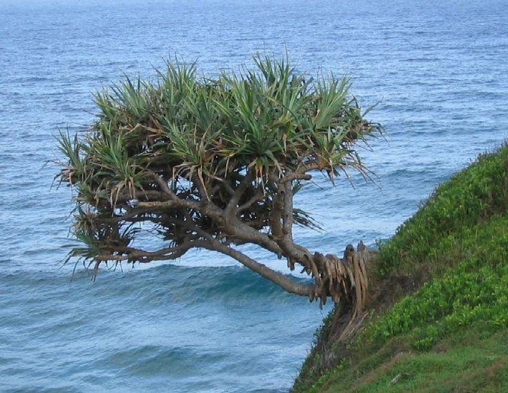 Pandanus Trees are at Risk