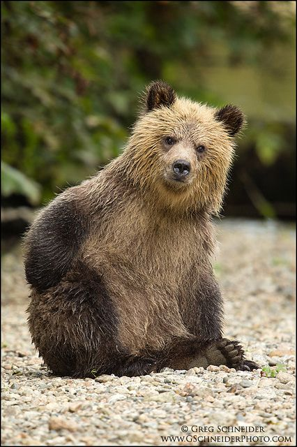 ~~Grizzly Bear cub scratching the cuteness itch by Greg Schneider~~