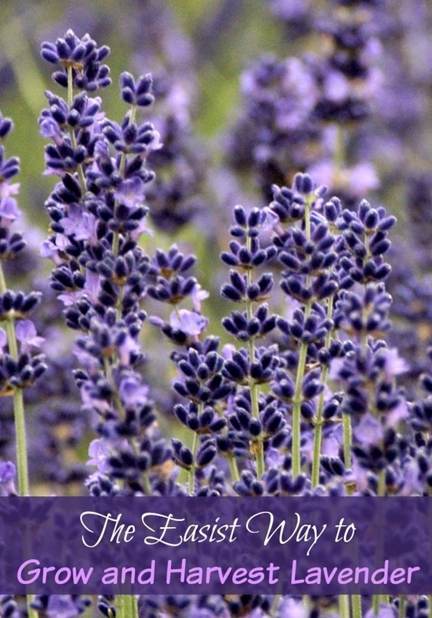 If you have not grown Lavender because you are nervous about how difficult it may be…It's not! I'll tell you how to grow and harvest Lavender of your own!