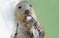 Very cute seal enjoying as a snack at Gweek's Cornish seal sanctuary!