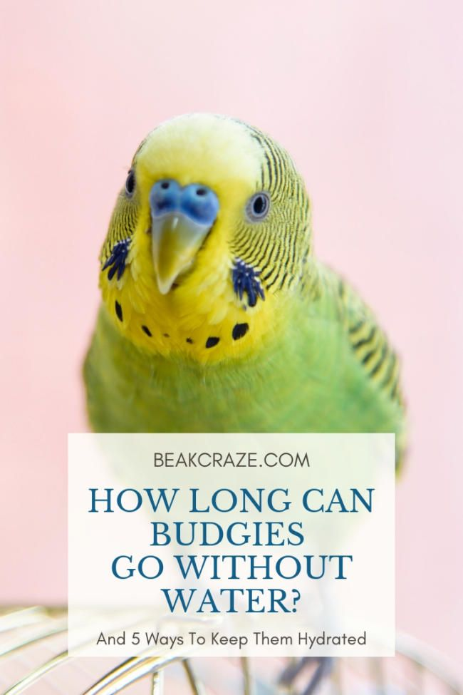 Is Your Budgie Refusing To Drink Water Or Are You Forced To Leave