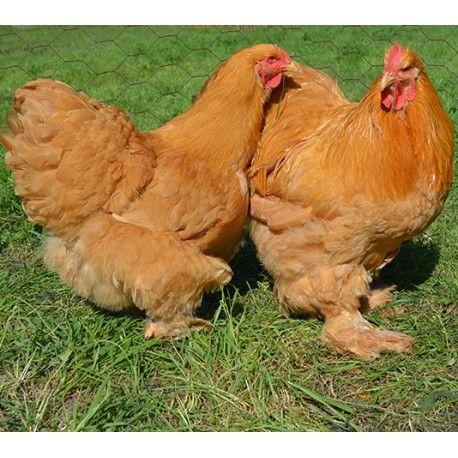 gallina-cochinchina-dorado-Gallinas Conchinchinas. Raza de gallinas de cuerpo grande, ancho, recogido y macizo; de temperamento muy tranquilo; de plumaje abolsado (voluminoso) sobre el conjunto del tronco y los tarsos muy emplumados (458×458)