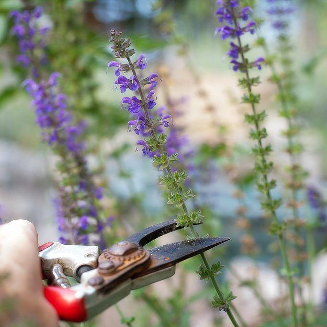 25 best ideas about purple salvia on pinterest salvia. Black Bedroom Furniture Sets. Home Design Ideas