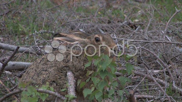 $30 - Hare