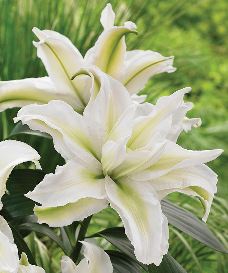 The exquisite blossoms of this Double Oriental Lily are a prize in containers or at the front of the border. The pristine white petals have gently ruffled edges and pale green shading that changes to a tender pink as the flower matures. Annika® is a member of the innovative Roselily series of double-flowering Oriental Lilies that possess a lighter scent and last longer in a vase than single Oriental varieties.  Lilies are one of the truly great garden plants. Their beauty, diversity…