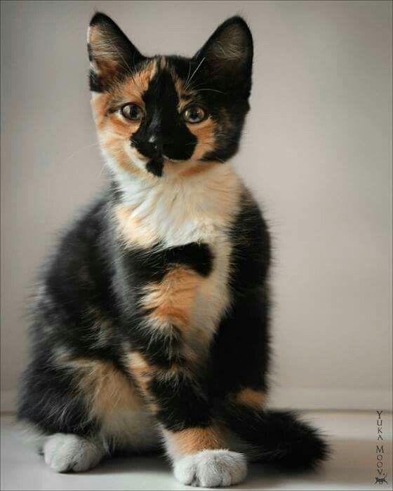 Lovely tortoiseshell cat