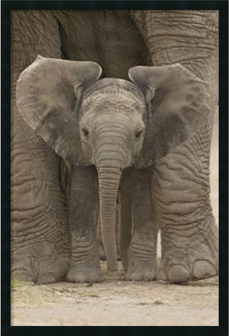 "0-028753>37x25"" Big Ears Baby Elephant Framed Art Gel Coated"