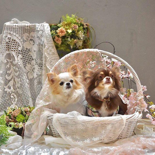 . . 昨日の続きです、 セルフ撮影会まだまだ 素敵なお写真沢山あるので お付き合いよろしくお願いします♡ . . #蓮くんママ撮影 #蓮くんと華ちゃん #エレdog25ans✖️野口正カメラマン #ロンチー #ロングコートチワワ #チワワ#犬 #わんこは家族 #chihuahuastagram #doglife  #chihuahuasofinsta #chihuahualover #愛犬 #dogstagram #dogsofinsta #doglover #dog#ilovedog #inutokyo #instadog  #chihuahualife #わんこは家族 #わんこの撮影会 #連投失礼します🙏 #記録用です