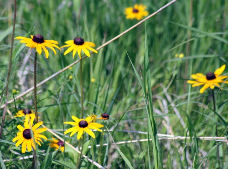 A group of Black Eyed Susans A day getting lost in the beauty of the prairies. - Truly You Life Coaching