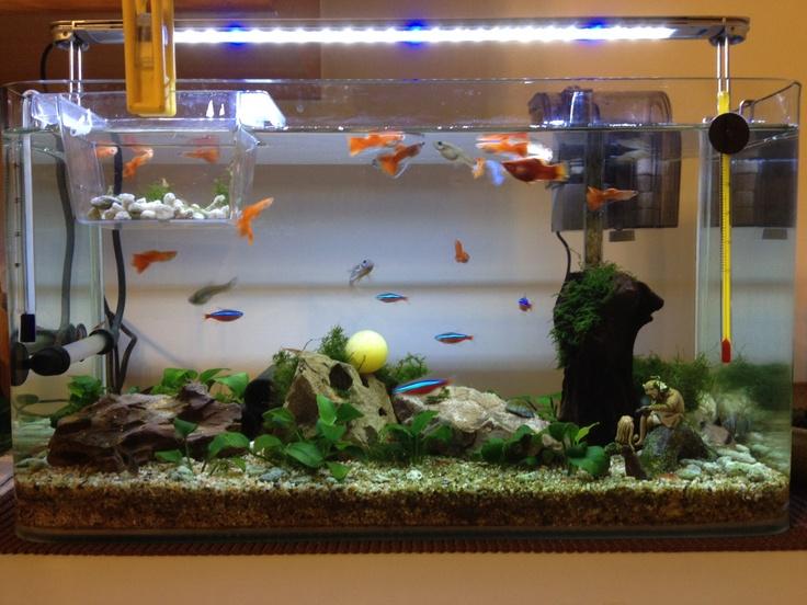 my aquarium guppy cardinal tetra my life my style