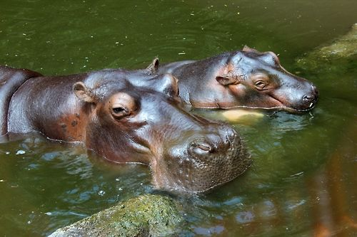 Hippos at Bali Safari Park