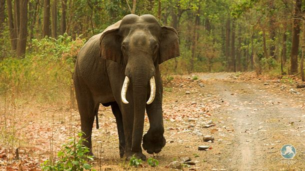 Unsere Partnerorganisation Wildlife Trust of India (WTI) hat beim im Jahr 2005 gestarteten Elefantenkorridor-Projekt einen wichtigen Meilenstein für den Elefantenschutz erreicht. Gemeinsam mit d