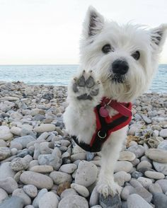 "1,146 Likes, 25 Comments - Westie Moments® (@westiemoments) on Instagram: ""Best Westie & Hoodies EVER in @westiemoments profile❗ Satisfaction guarantied❗ Worldwide…"""