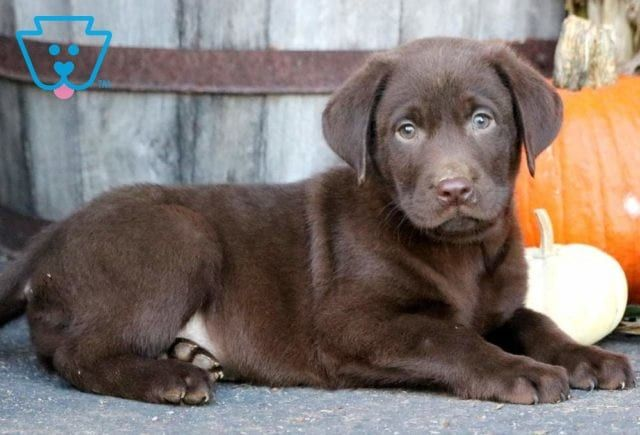 Tucker Labrador Retriever Chocolate Puppy For Sale Keystone Puppies Labrador Retriever Labrador Labrador Puppy