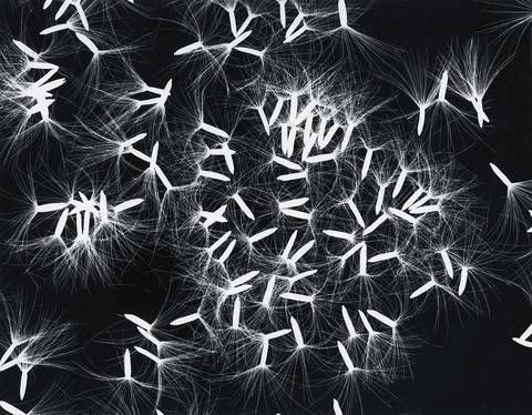 photogram dandelion