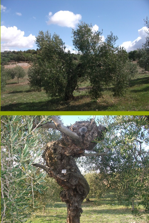 Adoptar un arbol - Adopt a treeOlive Trees