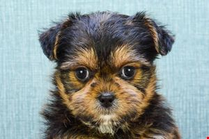 Shorkie puppies for sale | Small cross breed puppies for sale in Ohio
