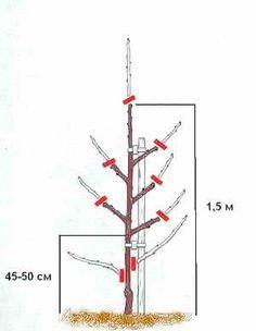 Поэтапное формирование кроны сливы Источник: http://dacha-vprok.ru/poetapnoe-formirovanie-krony-slivy