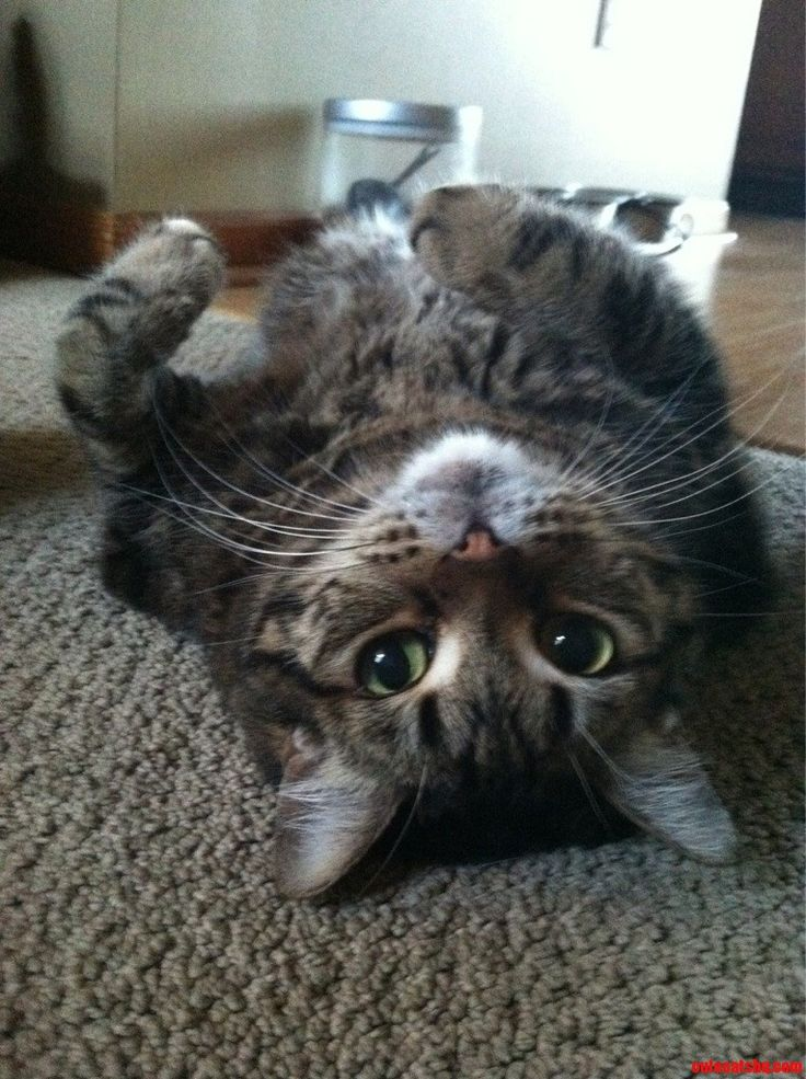 Amos. He Loves To Lay On His Back - http://cutecatshq.com/cats/amos-he-loves-to-lay-on-his-back/