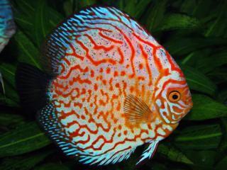 Symphysodon discusvis is een tropischevis die in zoetwateraquaria kunnen worden gehouden.