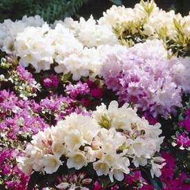 Japanska rododendron Finns i flera sorter