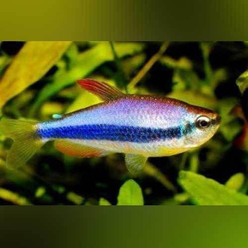 Purple Emperor | AquariumFishSale.com - Live Tropical Fish for Sale!