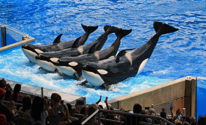 """Blackfish Documentary Sparks SeaWorld Debate The only """"debate"""" should be how quickly all marine mammal parks are closed and animals retired to sanctuaries/sea pens."""