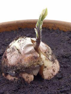 como sembrar aguacate