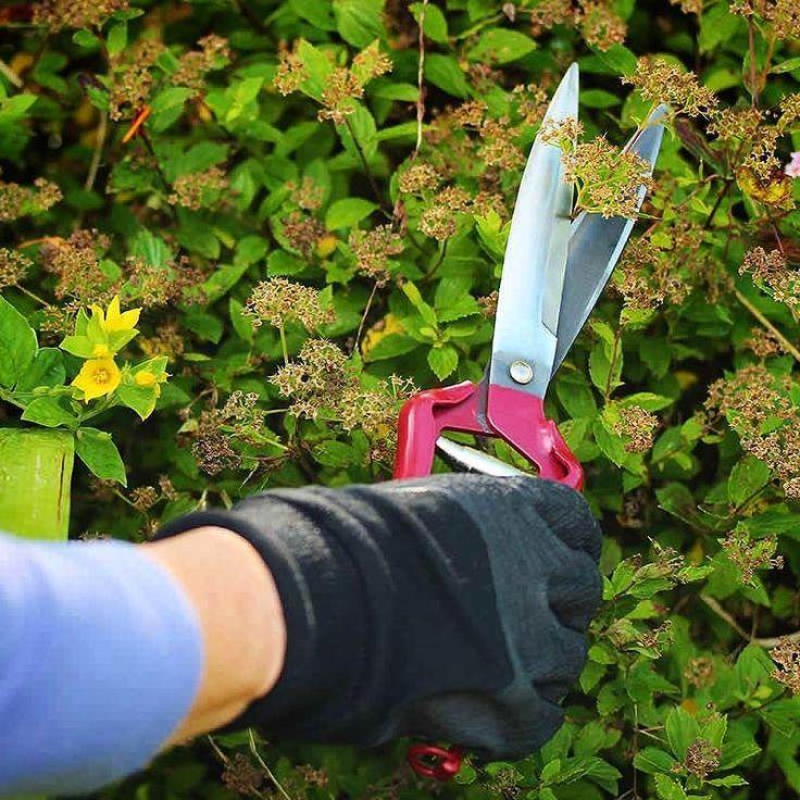 Den populära trimsaxen Topiary Shears finns nu åter i lager. Enklaste sättet att trimma all slags växtlighet!  Beställ för 229:-. Alltid FRI FRAKT! #trimsax #trimma #topairyshears #redskap #odling #trädgårdsprodukter #wexthuset #odlingstillbehör #trädgård #odlaenkelt #växthus #inomhusodling #fröer #urbangardening #växtbelysning #gardening #odlingstips #trädgårdsinspiration #gardeningbywexthuset