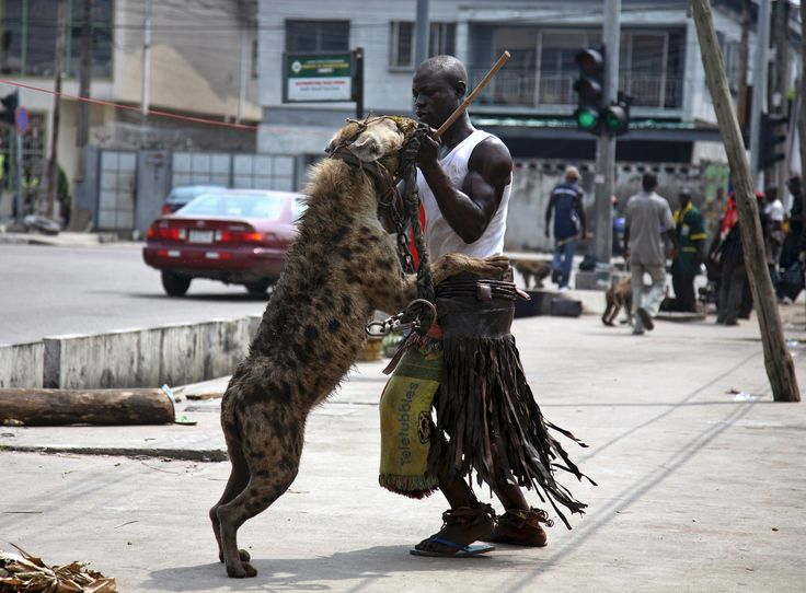 Unusual pets--Hyena; a man plays with his pet hyena on the streets of Lagos, Nigeria