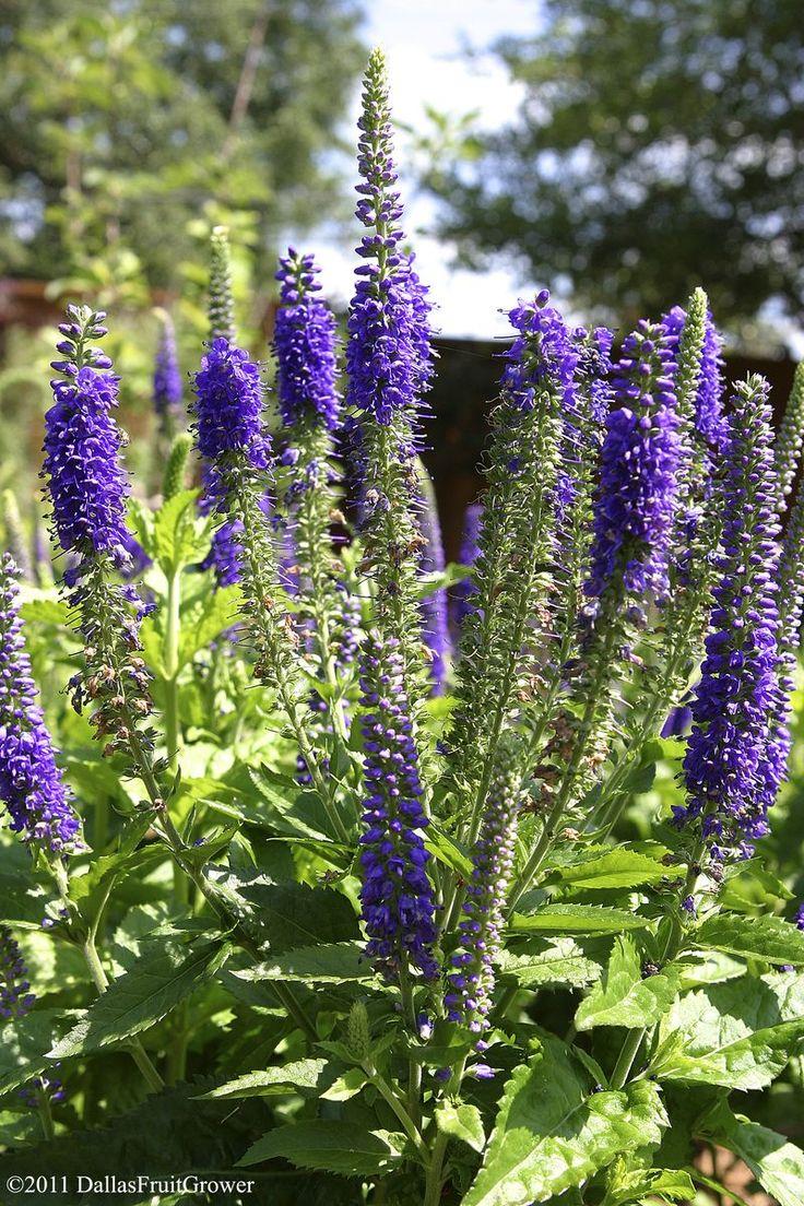 25 best ideas about purple garden on pinterest purple for Perennial garden