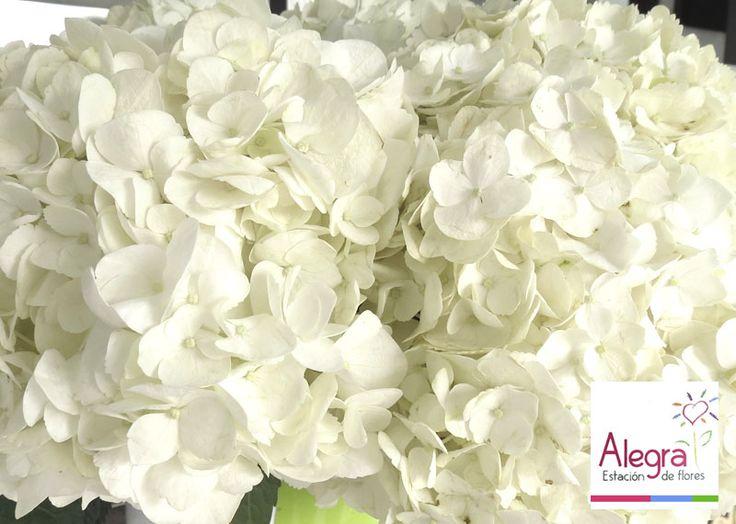 Descubierta por primera vez en Japón, esta es la flor preferida por muchos clientes Alegra… ¿sabías que su color varía por la acidez del suelo en la que se cultiva?