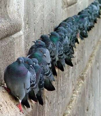 The usual suspects. I must say domestic/feral rock doves (what pigeons are) are highly unappreciated by most folks. Have you ever really looked at the beautiful iridescence?