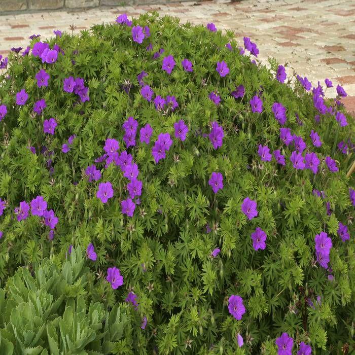 Geranium sanguineum Tiny Monster wordt in Nederland ook wel Ooievaarsbek genoemd. Het is een doorbloeiende vaste plant die 's zomers prachtige paarse bloemen produceert. Het is een ideale bodembedekker. Verliest niet zijn blad in de winter Ideale bodembedekker Geleverd als Hoogte volgroeid : ± 35 cm. Bloeiperiode : Juni - September