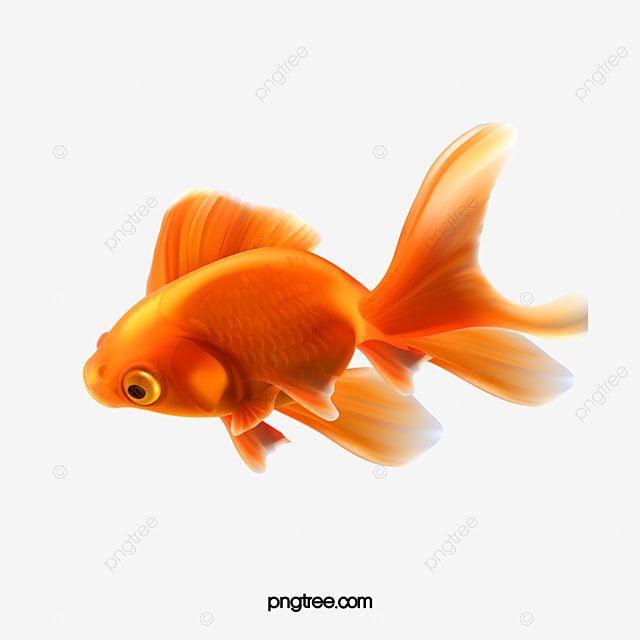 Goldfish Peces Ornamentales Material Goldfish Pescado Peces Ornamentales Png Y Psd Para Descargar Gratis Pngtree Poisson Image Png Creature De Mer Profonde
