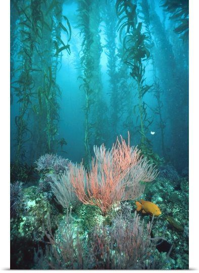 Giant Kelp forest, Garibaldi Channel Islands National Park, CA.