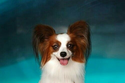 88 best dog papillon f images on pinterest doggies dogs and my kinda dog solutioingenieria Image collections