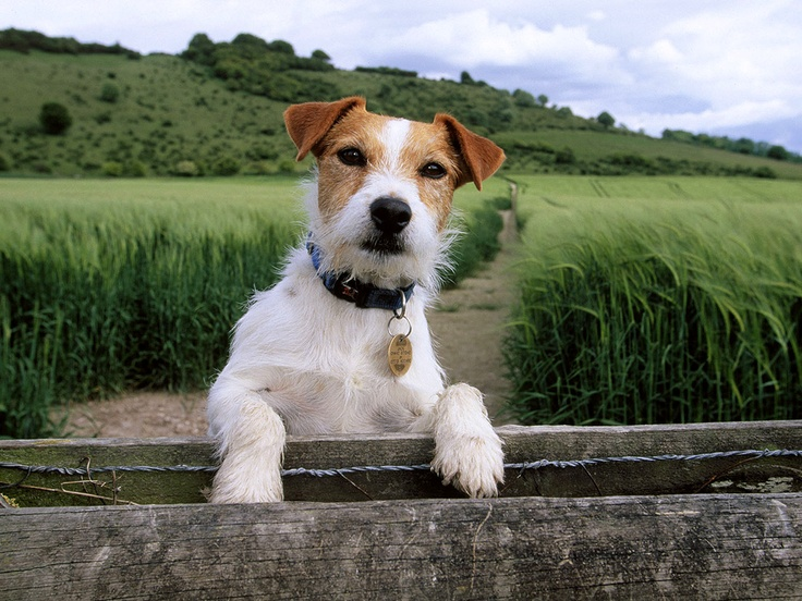 1000+ images about Jack Russell & parson russell terrier ...
