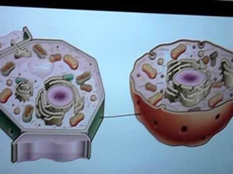 Çekirdek Bitki Ve Hayvan Hücresi Farkları
